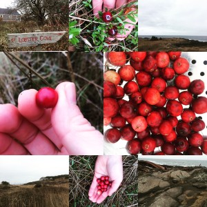 cranberry picking 2