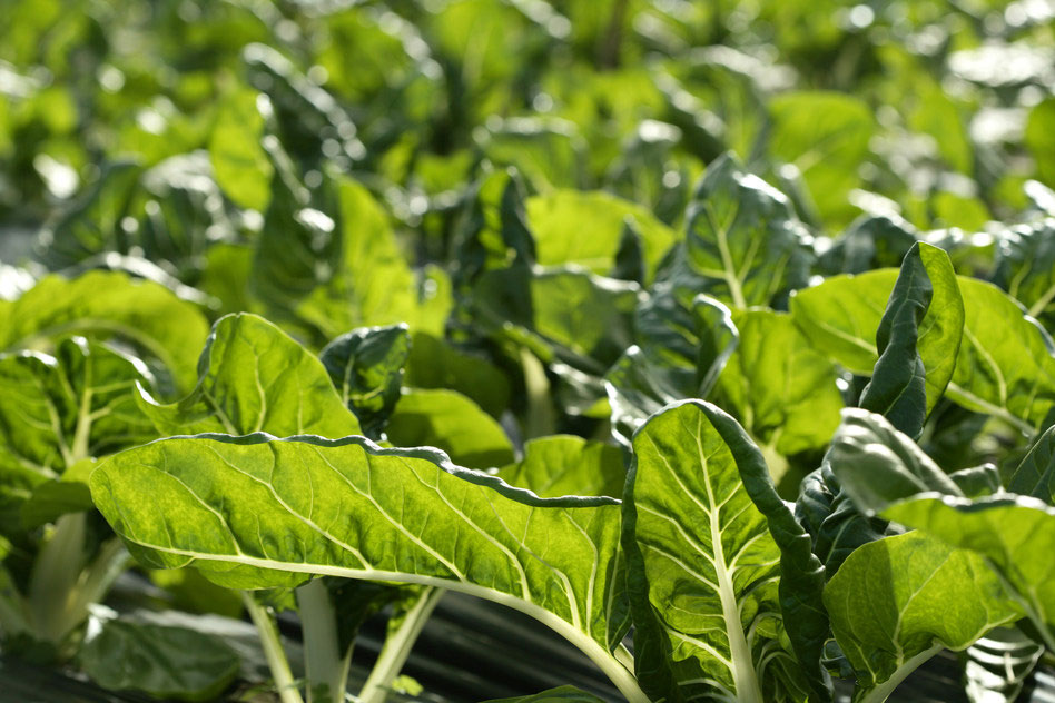 photodune-1401198-green-chard--cultivation-in-a-hothouse-field-s